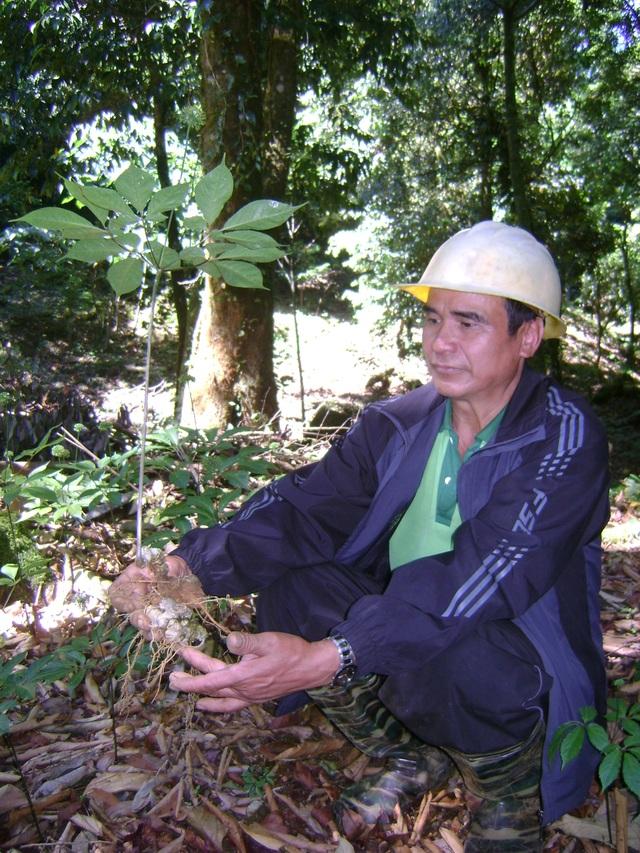 Sâm Ngọc Linh của người dân trồng ở huyện Nam Trà My
