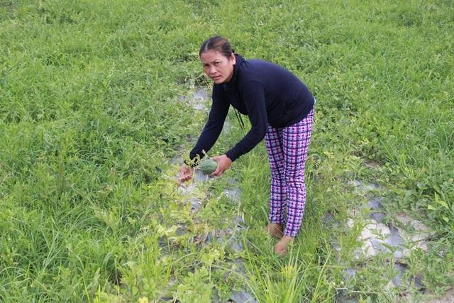 Nông dân đau lòng khi bỏ cả vườn dưa hư hỏng