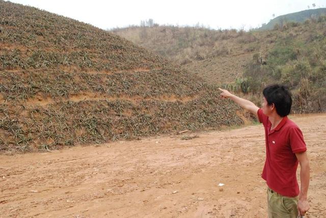 Một đồi dứa đang chín của một nhà dân bị mất trắng.