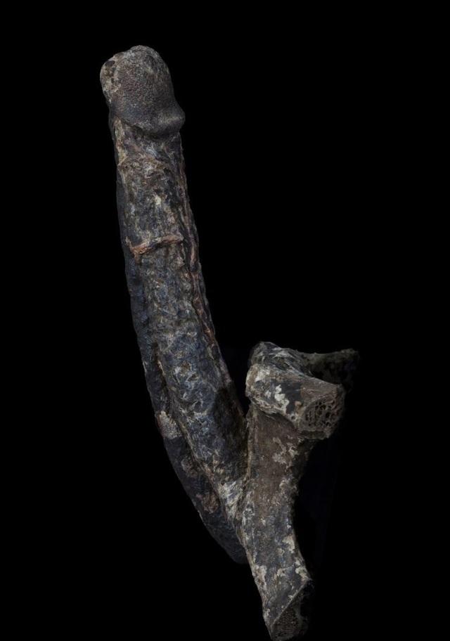 Trưng bày xác ướp dương vật dài gần 18cm - 1