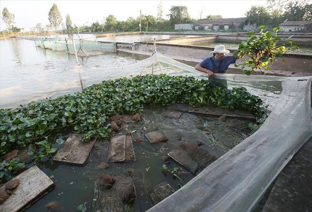 1.000 mét vuông dành cho nuôi ếch phân thành nhiều khoang nhỏ chia khu ếch giống, ếch thịt, ếch nhỏ và trứng. Ếch ăn nhiều bữa hằng ngày, khi không ăn hết phải dọn vệ sinh để giữ nguồn nước sạch sẽ.
