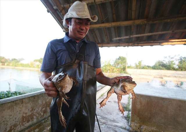 Hiện đầu ra cho loài ếch này đang không đủ cung cấp cho thị trường. Mỗi năm ông Thịnh tiêu thụ khoảng 70 nghìn con ếch giống và 30 tấn ếch thịt, thu lãi hơn 3 tỉ mỗi năm.