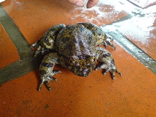 Ếch đại gia có dáng vẻ bệ vệ oai phong, to con, dáng đậm hơn và rắn chắc gấp bội ếch thường.