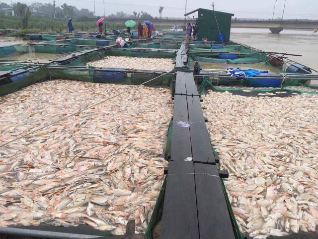 Hàng trăm tấn cá bị chết sạch
