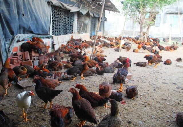 Đàn gà nhà ông Bình còn nhiều con đang thoi thóp