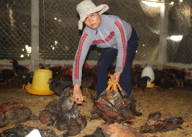 Bà Qua ngầm ngùi lượm từng con gà chết để đem đi tiêu hủy