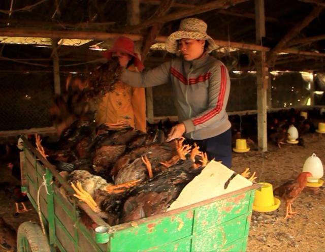 Trại gà 2.500 gà thịt chuẩn bị xuất bán bị chết gần hết khiến chủ trại gà trắng tay