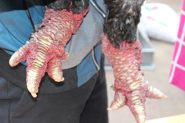 Giá trị của gà Đông Tảo nằm ở chính cặp chân khổng lồ. Nhiều cặp chân có giá lên đến hàng triệu đồng.