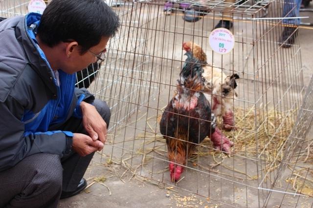 Anh Mai Xuân Trường- chủ một trang trại ở Bình Dương mang gà đến dự thi cho biết, thị trường gà Đông Tảo trong Nam cũng khá thu hút người mua, nhất là để chuẩn bị cho năm con gà vàng Đinh Dậu đang đến gần.