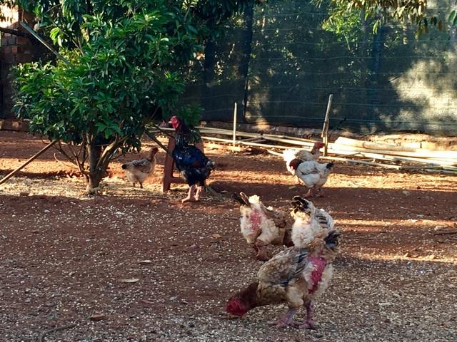 Trang trại gà Đông Tảo của ông Nguyễn Văn Long chỉ còn vài con lẻ tẻ trước Tết
