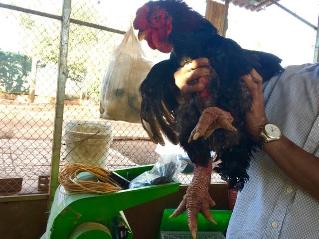 Một chú gà Đông Tảo chân càng to sần sùi thì giá càng cao