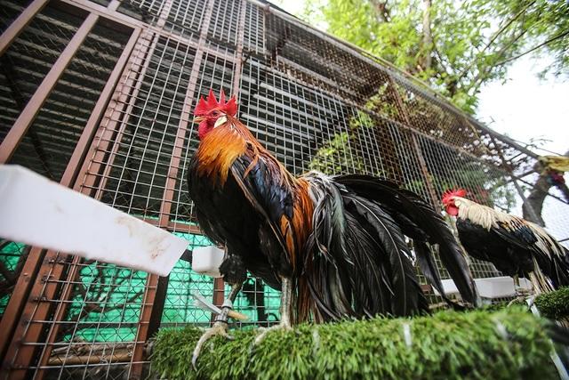 Chi 65 triệu đồng mua cặp gà Nhật đuôi siêu dài về chơi Tết - 4
