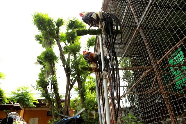 Để ra đời được giống gà này, người nuôi phải mua trứng từ Nhật Bản mang về Việt Nam để ấp.