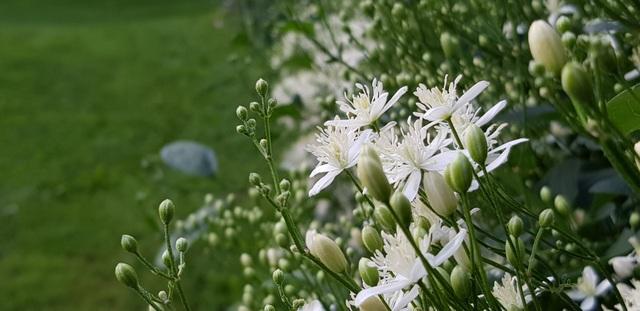 Những bông hoa trắng muốt trong công viên Center Park