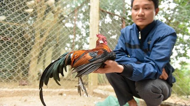"""Theo anh Giáp, gà rừng sinh sản nhanh, mỗi năm đẻ 3 lứa, mỗi lứa từ 10 – 15 trứng, trong khi đó gà thương phẩm nuôi khoảng 6 tháng là có thể xuất chuồng. Do nhu cầu thị trường ngày càng cao nên gà rừng luôn trong tình trạng """"cung không đủ cầu"""" đặc biệt là trong các dịp lễ Tết."""