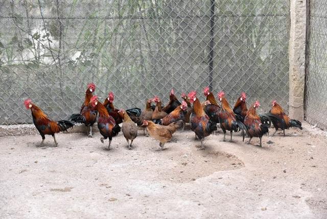 Trên diện tích gần 2ha đất tại xã Đông Mỹ, Thanh Trì, Hà Nội, anh Trần Nhữ Giáp (38 tuổi) đang nghiên cứu và nuôi 32 loài chim, gà quý hiếm của thế giới nhằm mục đích nhân giống. Nổi bật trong số đó, là đàn gà rừng tai trắng gồm khoảng 100 con được anh Giáp tìm kiếm ở nhiều nơi sau đó nuôi thuần chủng.