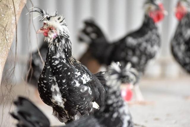 Ngoài giống gà rừng tai trắng thuần chủng quý hiếm, trang trại anh Giáp còn có giống gà quý phi hay còn gọi là nhiều cựa, cũng được nhiều người ưa chuộng trong dịp Tết nguyên đán.