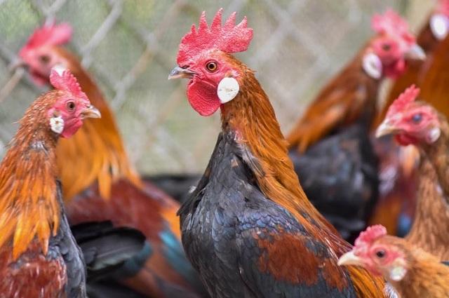 """So với các loại gà khác, gà rừng có sức đề khác tốt, bộ lông đẹp, thịt cũng ngọt và thơm nên rất được ưa chuộng trên thị trường. Hiện nay, một con gà rừng tai trắng thuần chủng ở trang trại anh Giáp có giá từ 700 – 1 triệu đồng/kg. Ngoài mua về làm thịt, nhiều gười còn """"săn"""" tìm những con gà rừng đẹp về nuôi làm cảnh như một thú vui tao nhã."""