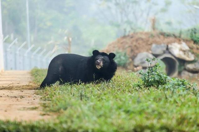 Cá thể gấu Hai Chân được thả ra môi trường tự nhiên sau gần 20 năm bị nhốt trong lồng.