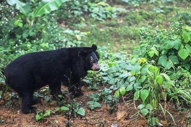 """""""Giải phóng"""" 3 cá thể gấu ngựa gần 20 năm bị nuôi nhốt - 2"""