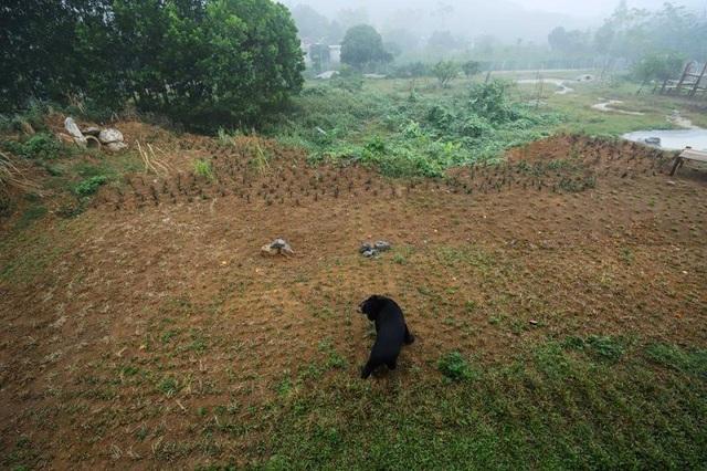 """""""Giải phóng"""" 3 cá thể gấu ngựa gần 20 năm bị nuôi nhốt - 4"""