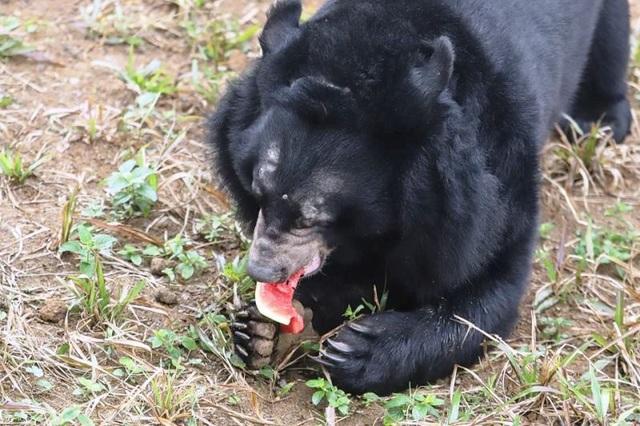Những cá thể gấu đầu tiên sinh sống trong Công viên động vật hoang dã quốc gia tại Ninh Bình.