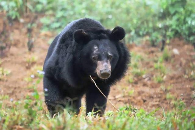 Các cá thể gấu thoải mái đi lại, vui đùa trong ngôi nhà mới của mình.