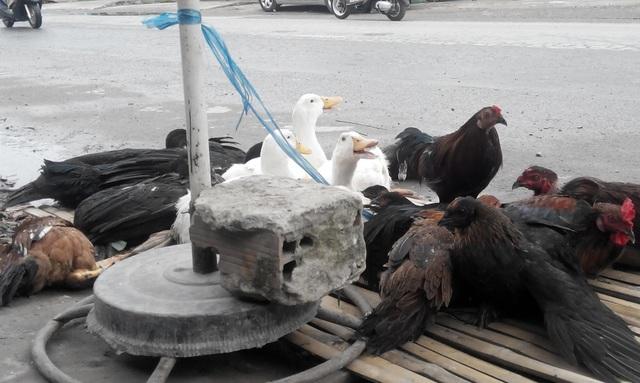 Khi gia cầm nhập cảng Phú Quốc, Trạm thú huyện tiến hành vệ sinh phun xịt khử trùng, tiêu độc đàn gia cầm trước khi doanh nghiệp giao hàng cho các đầu mối trên đảo.