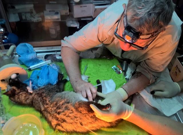 Cá thể cầy được các bác sĩ thú y của SVW chăm sóc.