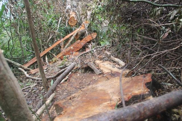 Gốc cây có đường kính gần 60 cm bị chặt hạ