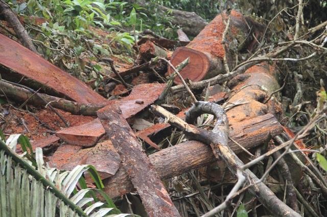 Rừng phòng hộ tại Quảng Trị bị chặt phá: Cần xử lý quyết liệt! - 5