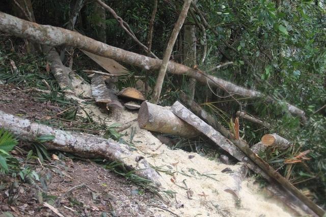 Một cây gỗ vừa mới bị cưa chỉ cách thời điểm chúng tôi vào rừng vài giờ