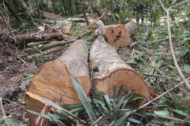 Những thân gỗ bị cưa đốn mà các đối tượng chưa kịp xẻ phách