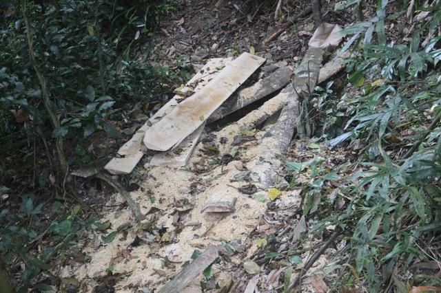 Những bìa gỗ sau khi được xẻ, nhiều phách còn sót lại trong rừng