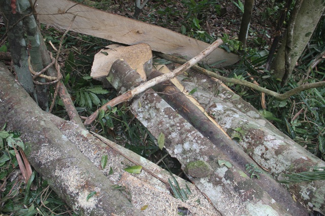Lâm tặc tàn phá rừng - Những hình ảnh ngổn ngang tại hiện trường - 6