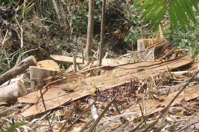Những cây gỗ lớn bị đốn hạ chỉ còn lại gốc và bìa cây