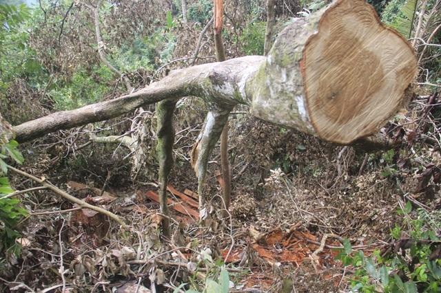 Lâm tặc tàn phá rừng - Những hình ảnh ngổn ngang tại hiện trường - 3