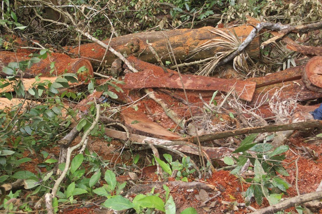 Bìa gỗ nằm ngổn ngang trong rừng