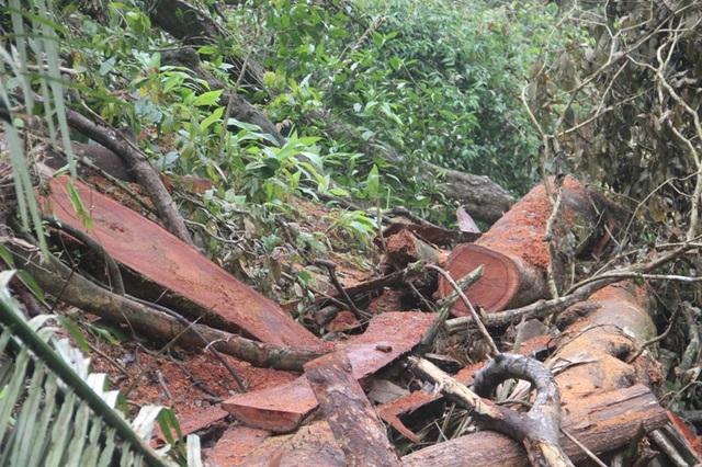 Hàng loạt cây gỗ lớn bị đốn hạ không thương tiếc