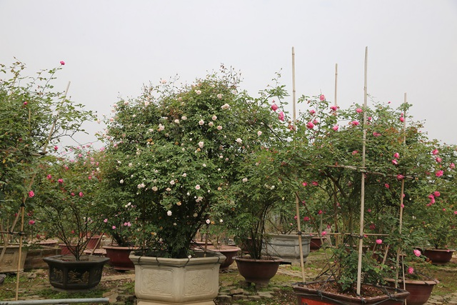 Một cây hồng cổ Sapa đẹp tại vườn của Thiên Trang