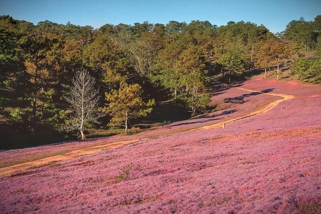 Những thảm cỏ hồng đẹp như tranh vẽ