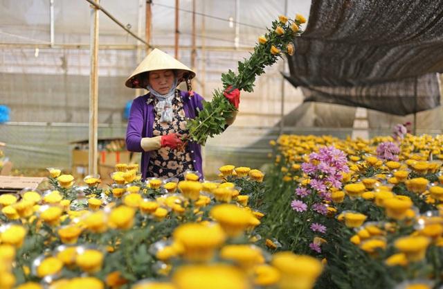 Hoa cúc cắt cành tại Đà Lạt bất ngờ tăng giá cao