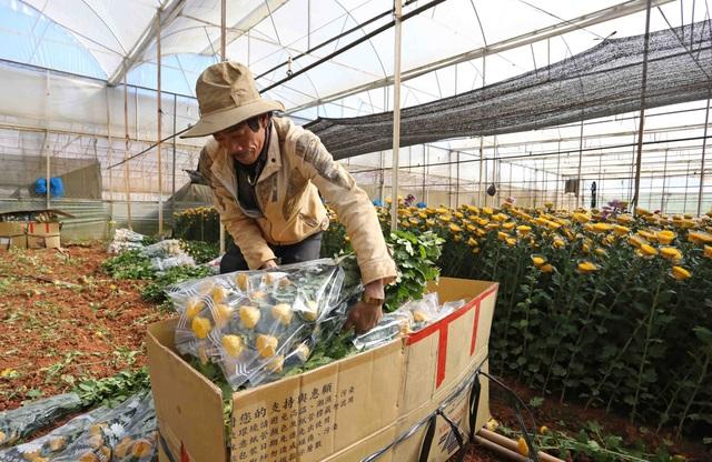 Người dân đóng hoa cúc xuất đi thị trường các tỉnh lân cận và miền Trung