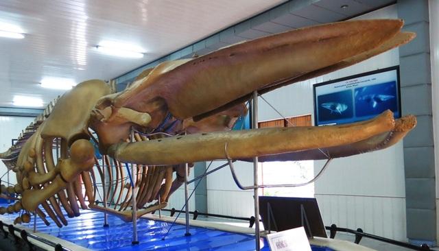 Bộ xương cá voi khổng lồ ở Viện Hải dương học