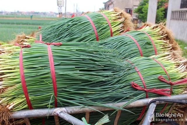 Hành hoa được xem là cây trồng chủ lực của người dân vùng rau bãi ngang Quỳnh Lưu; nếu chăm sóc tốt, năng suất đạt 1,5 tấn/sào, nông dân thu lãi 7- 8 triệu đồng. Ảnh: Lê Nhung