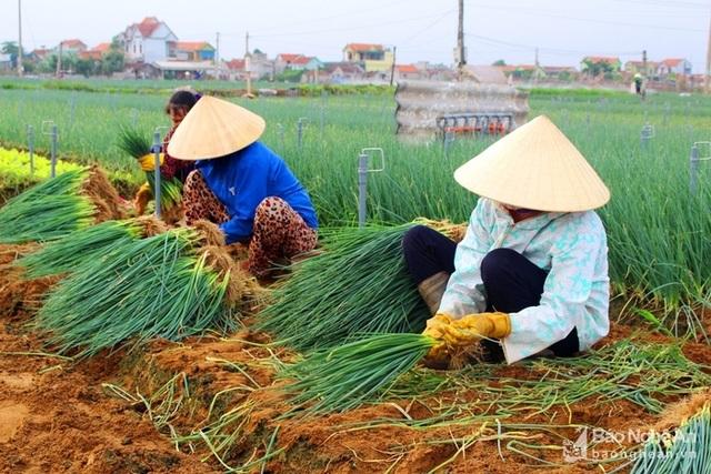 Bà con xã Quỳnh Lương (Quỳnh Lưu) tranh thủ ra đồng thu hoạch hành hoa. Ảnh: Việt Hùng