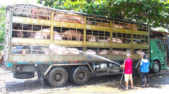 Khủng hoảng thịt lợn vì lệ thuộc vào thị trường Trung Quốc (ảnh minh hoạ)