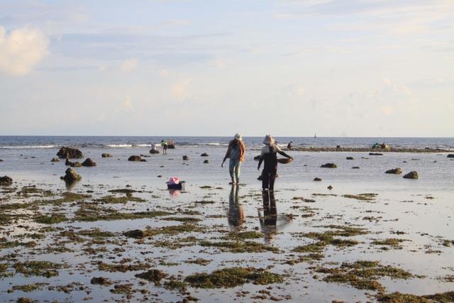 Những phụ nữ nghèo Lý Sơn hái rau đông khi thủy triều xuống.