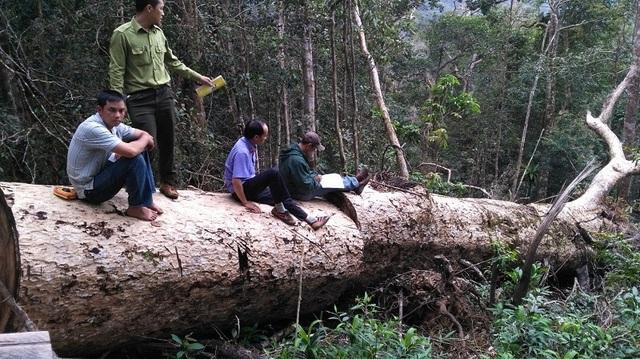 Một cây du sam lớn bị phát hiện chặt hạ ngay trong Khu bảo tồn thiên nhiên Nam Nung (ảnh: VKSND tỉnh Đắk Nông)