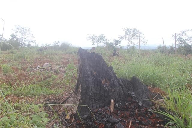 Những gốc cây bị đốt nham nhở, nhiều câu có đường kính lớn